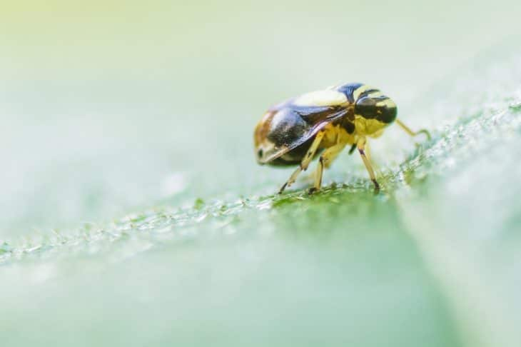 how-to-get-rid-of-spittlebugs