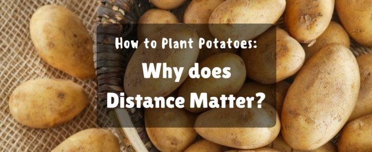 potato plant - potatoes image