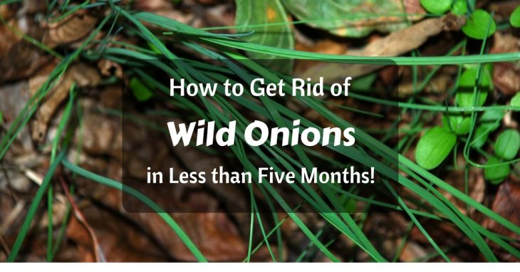 how to get rid of wild onion