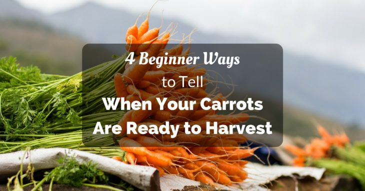 how to tell when carrots are ready to harvest