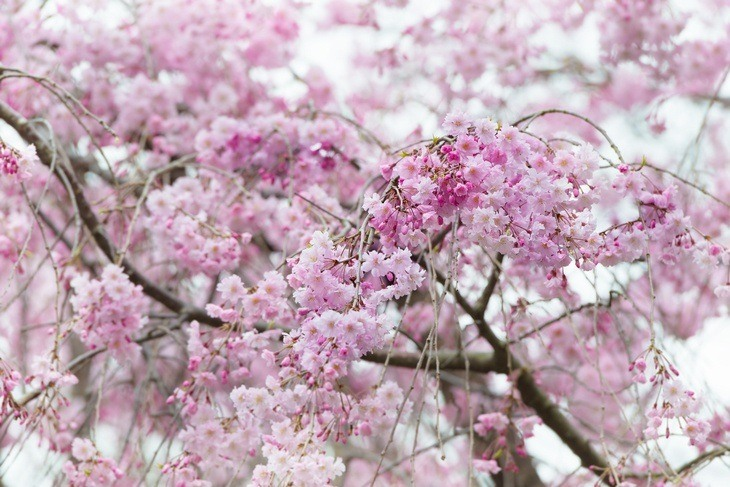 A massive cherry tree with pink flowers