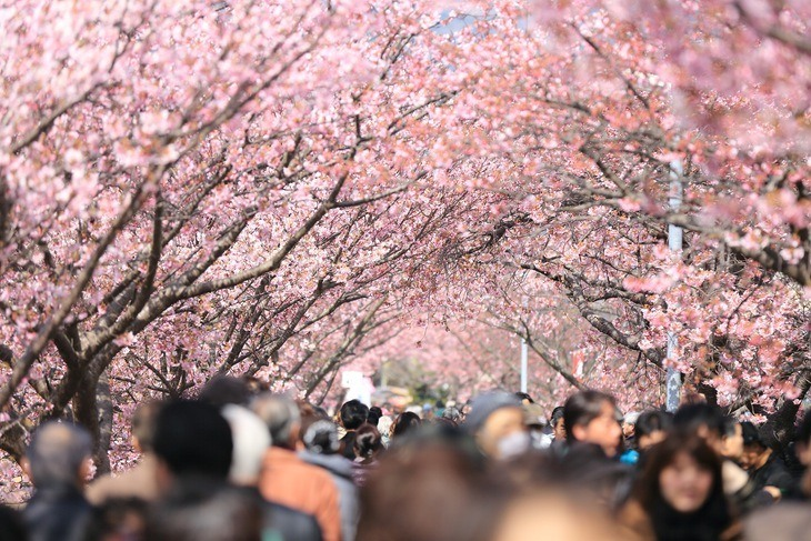 Cherry trees in full bloom during spring season