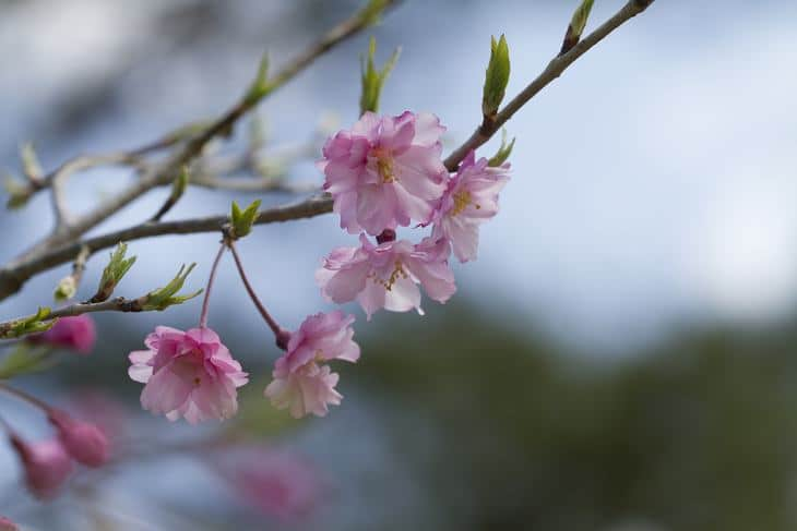 Flower buds of a Japanese cherry blossom