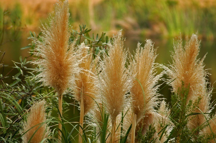 Fully mature pampas grass bears flowers in different colors