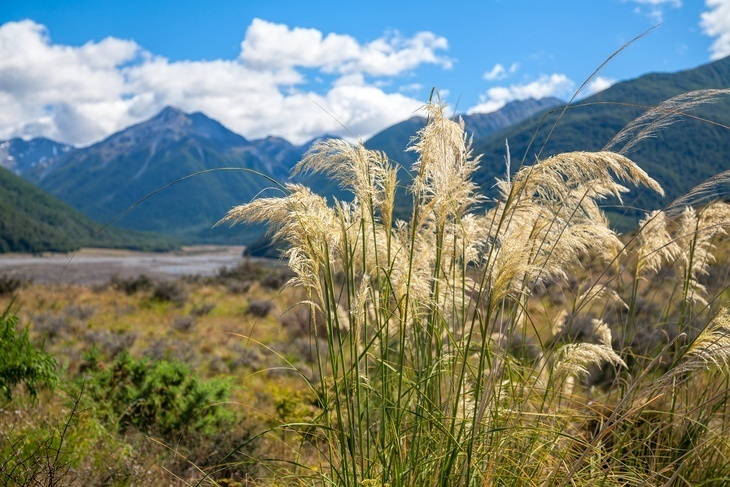 Kill the pampas grass before they bear flowers to prevent pollination