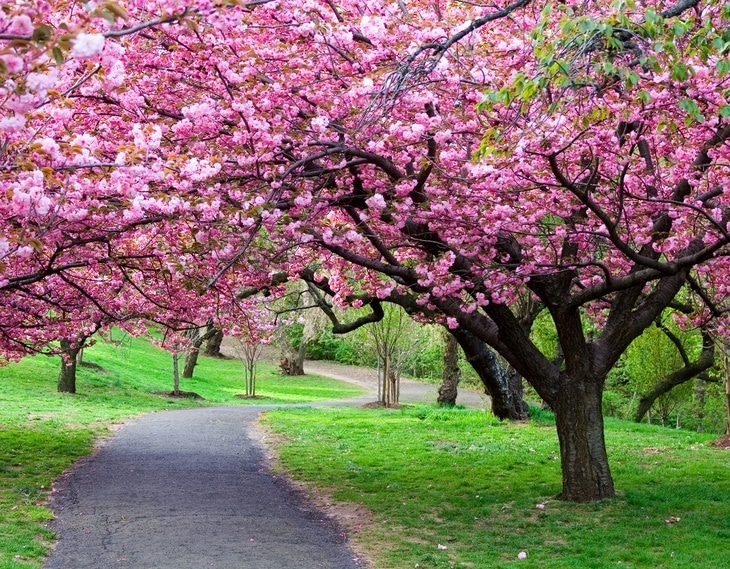 Lines of cherry trees create a beautiful garden landscape