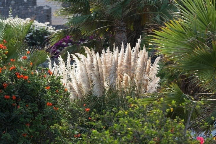 Pampas grass is a competitive plant
