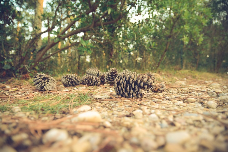 Scattered pine cones and pine needles