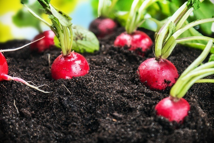 You can store your radishes in the dirt!