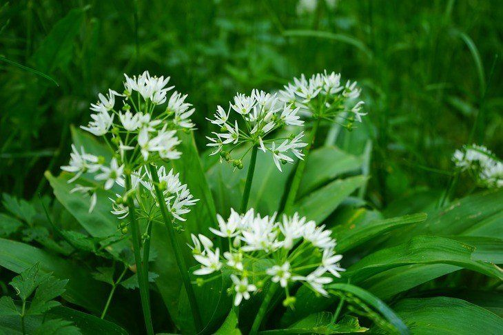 Bears garlic blossom bloom plant