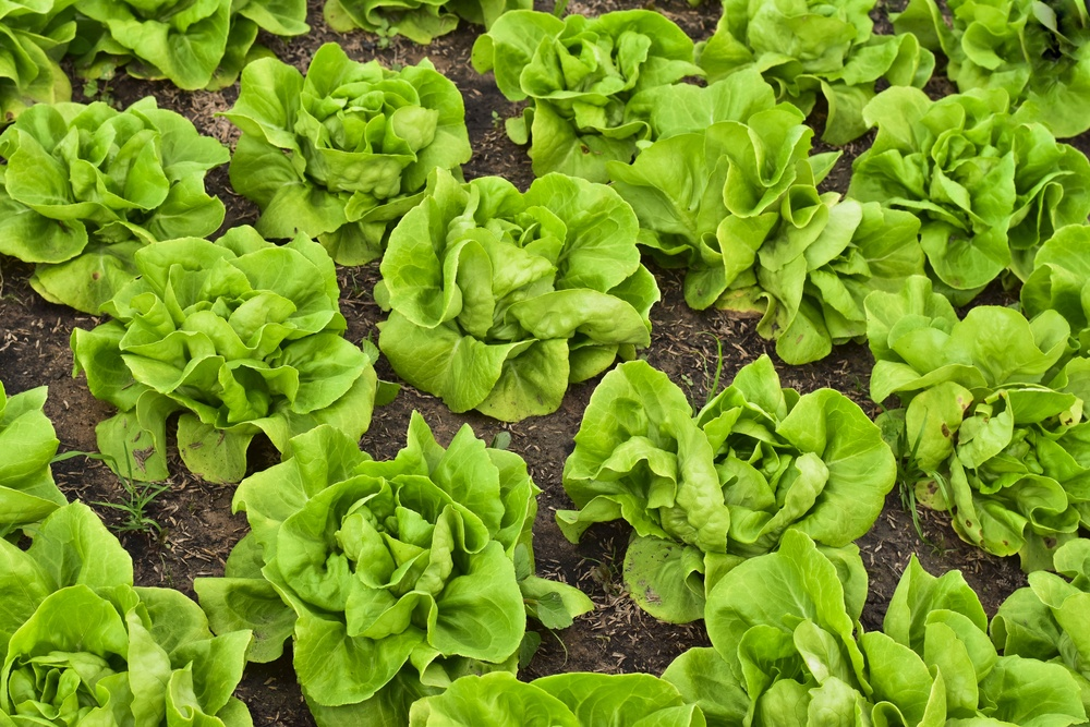 How to harvest buttercrunch lettuce in 2 simple ways that even beginners can do for How to pick lettuce from garden