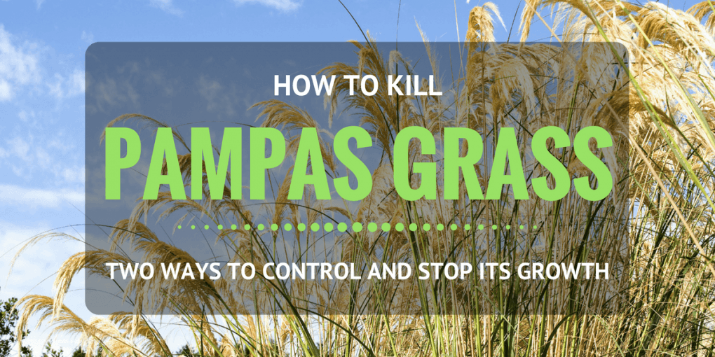 How To Kill Pampas Grass