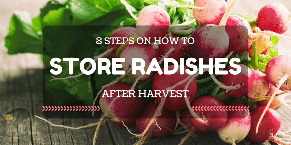 8 Steps on How to Store Radishes after Harvest