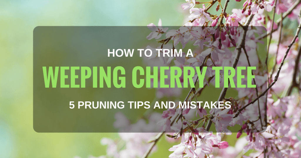 How to Trim a Weeping Cherry Tree: 5 Pruning Tips and Mistakes that You Should Know