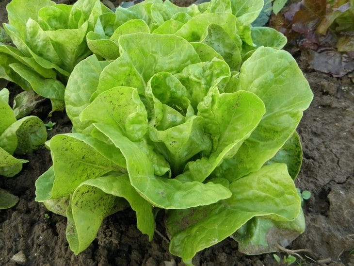how-to-harvest-buttercrunch-lettuce