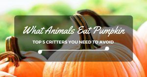 what-animals-eat-pumpkins