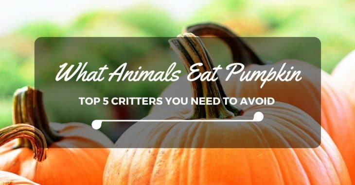 What Animals Eat Pumpkin: Top 5 Critters You Need To Avoid