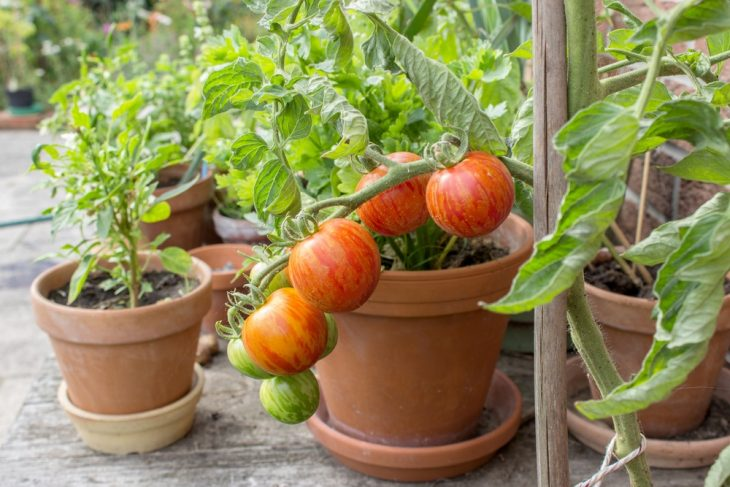 how-far-to-space-tomato-plants