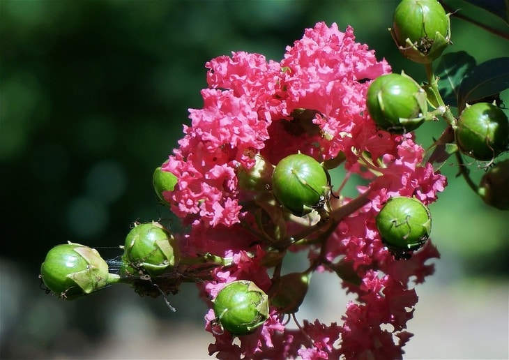 After crepe myrtles bloom in summer, they produce seed pods that last through the fall