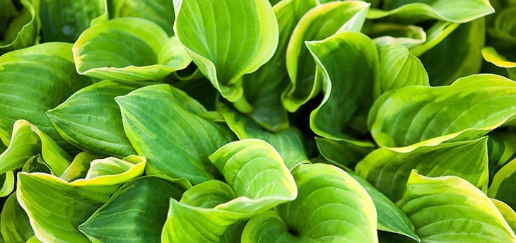 What Animals Eat Hostas These Four Creatures Will Surprise You