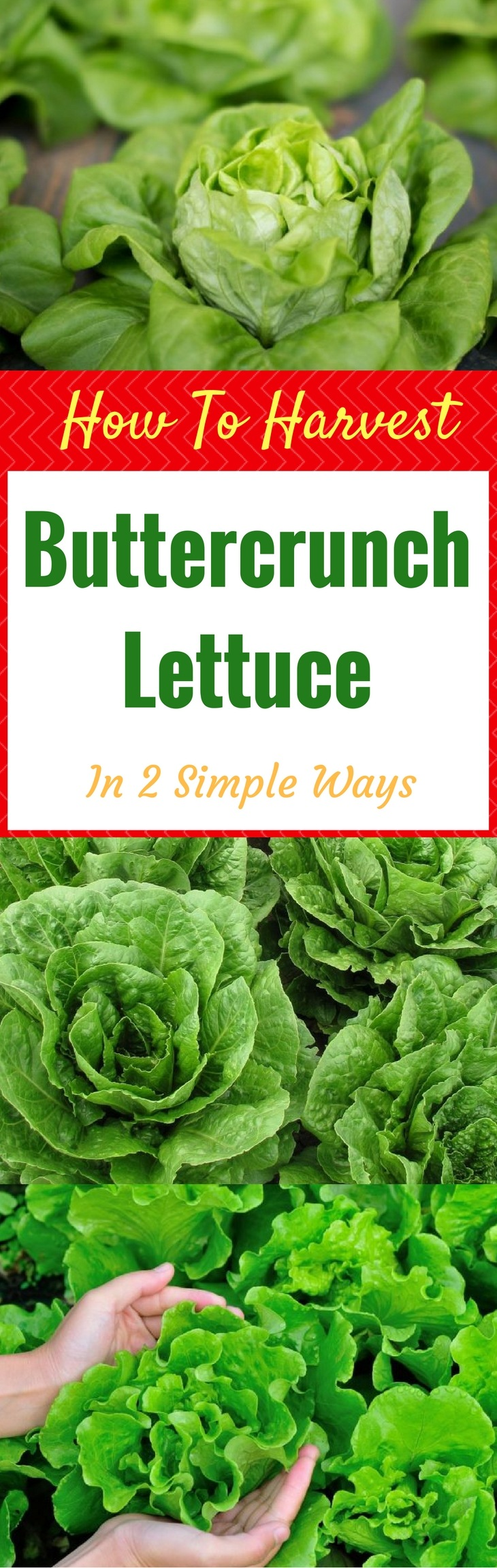 How To Harvest Buttercrunch Lettuce
