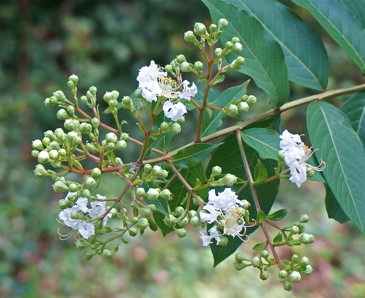 Newly blossoming pretty flowers of a white crepe myrtle shrub