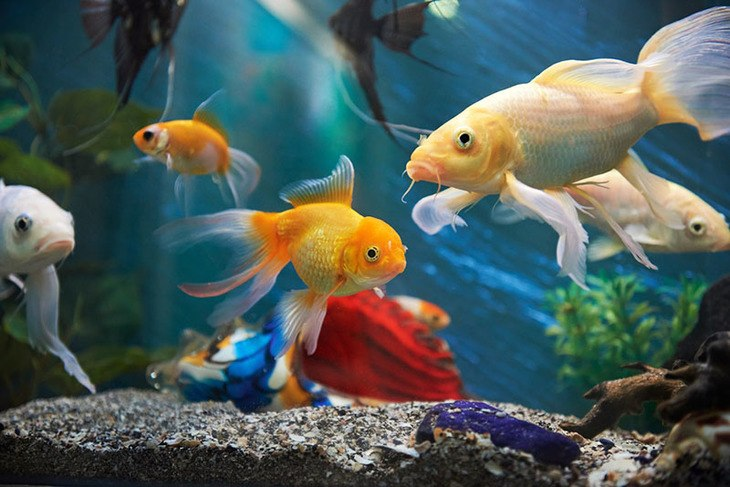 Originally, aquarium water chillers are often used in fish tanks to lower down the heat inside fish tanks
