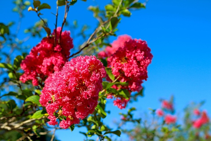 Prized for its abundance of beauty, this pink crepe myrtle blooms for months