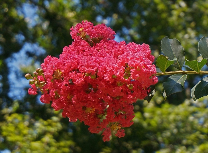 Showy, yet tender crepe myrtles are displaying huge clusters of blooms
