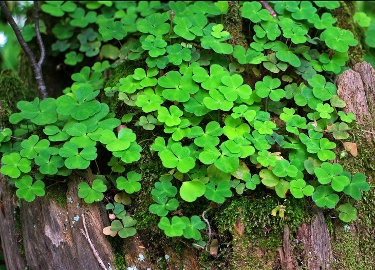The clover plant is a member of the vascular group
