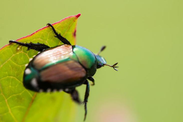 This Japanese beetle is infesting on a wild grape leaf