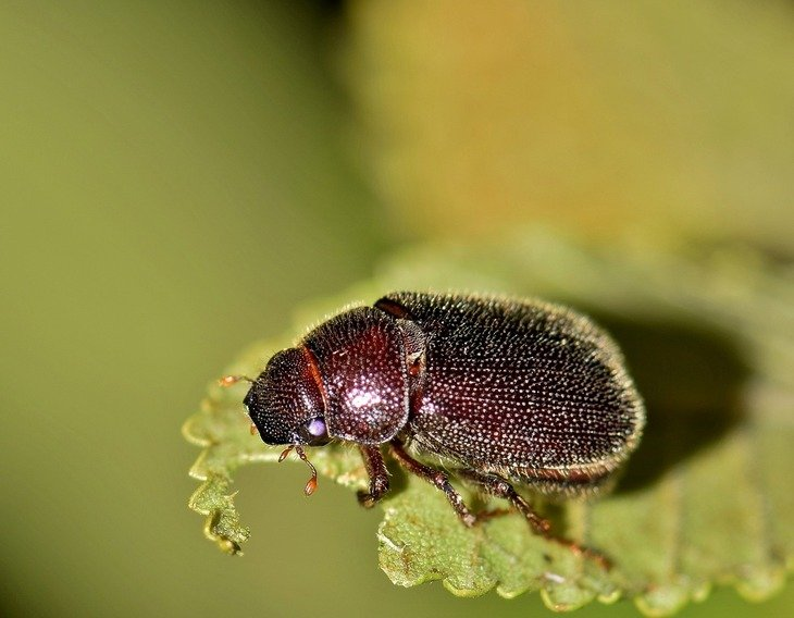 This beetle is one of the 206 species of Phyllophaga