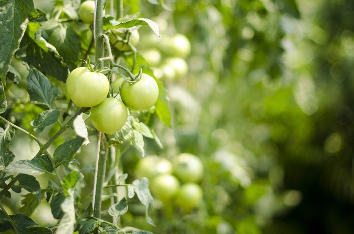 Tomato is an example of plants that bear fruits