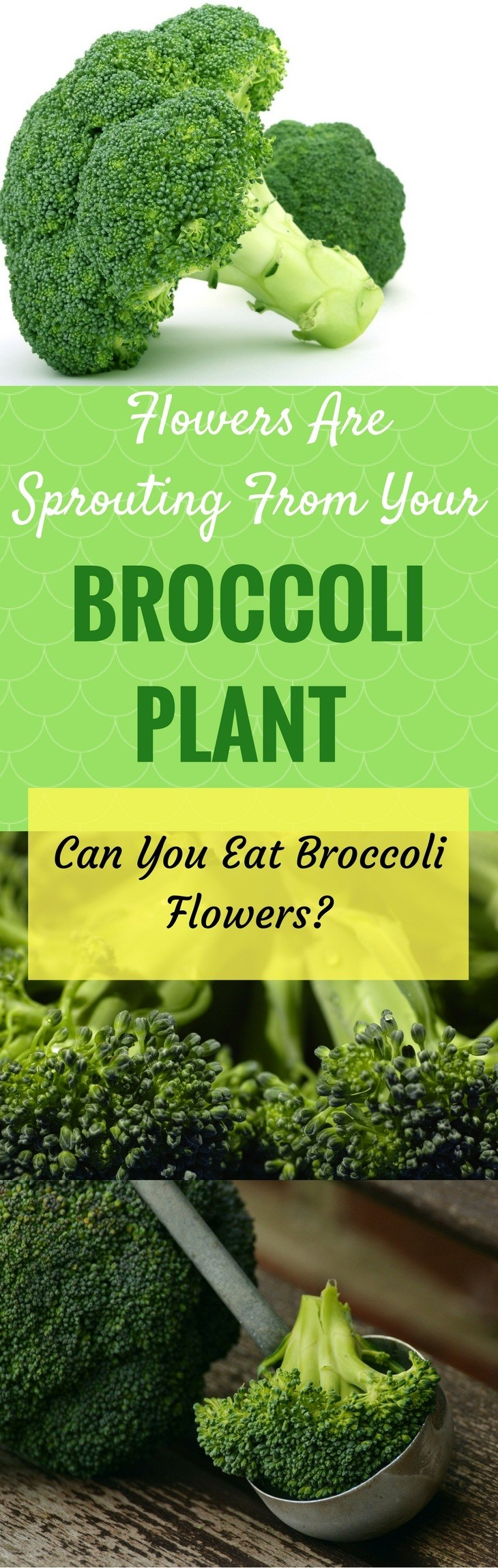 Flowers Are Sprouting From Your Brocolli Plant Can You Eat