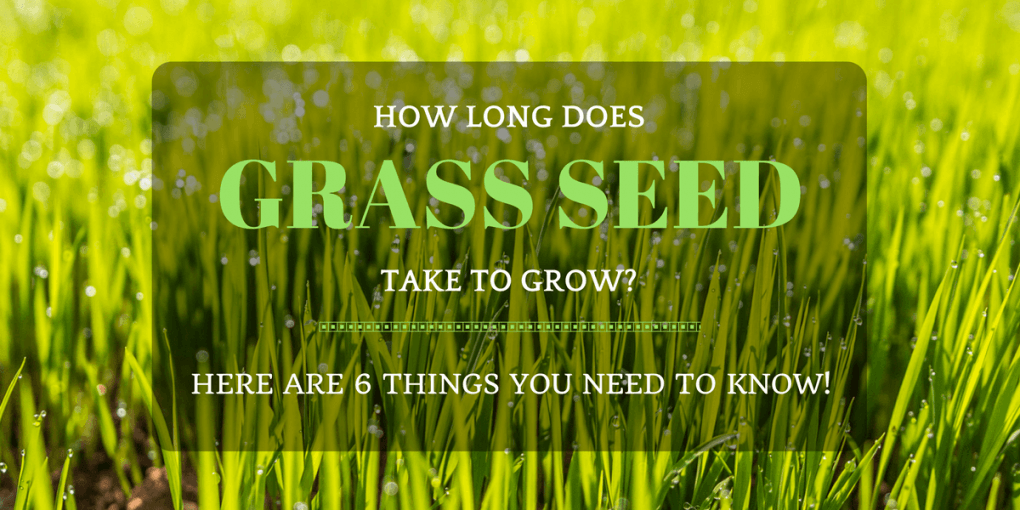 How long does grass seed take to grow?