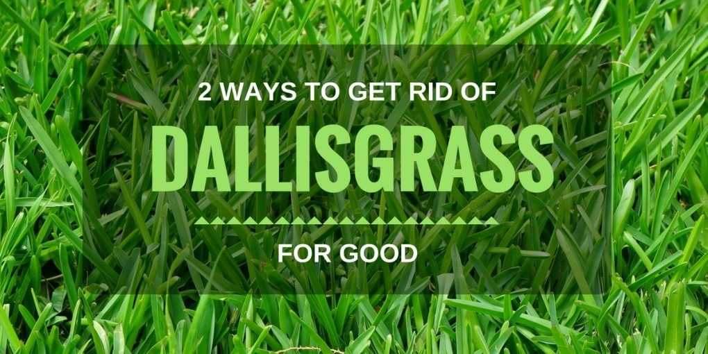 2 Ways To Get Rid Of Dallisgrass For Good