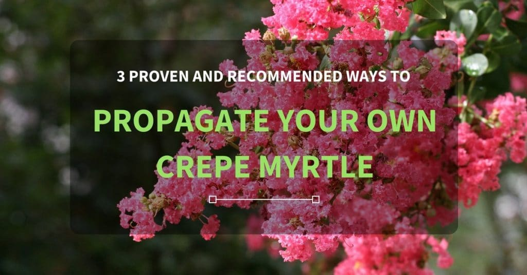 3 Proven And Recommended Ways To Propagate Your Own Crepe Myrtle
