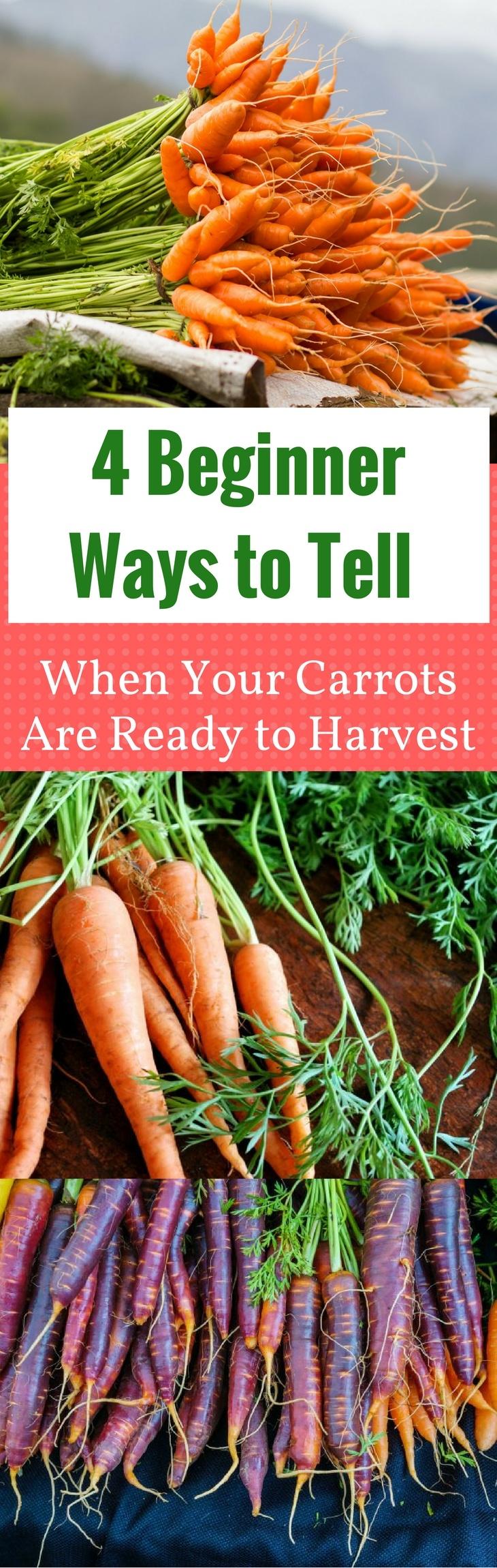 When Are Purple Carrots Ready To Pick Garden Design Ideas