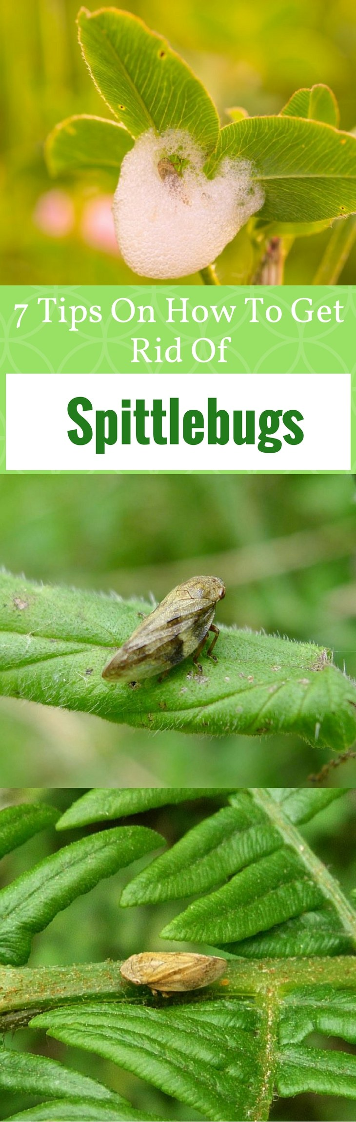 7 Tips On How To Get Rid Of Spittlebugs
