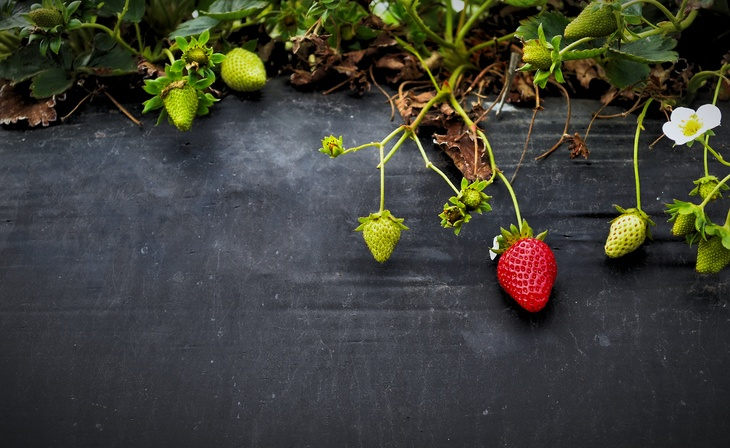 A ripe strawberry hanging from its vine