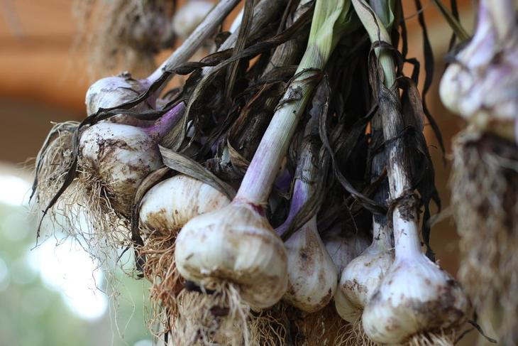 Garlic: Plant Care and Collection of Varieties