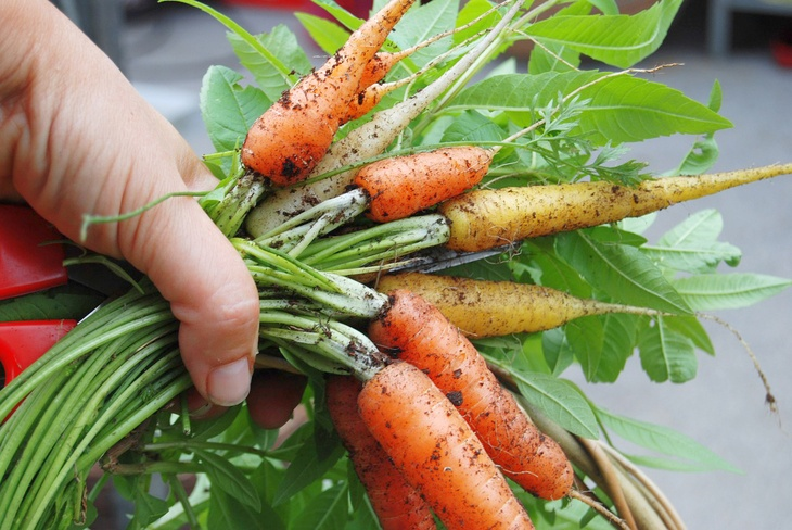 Freshly harvest carrots with traces of soil still stuck on it