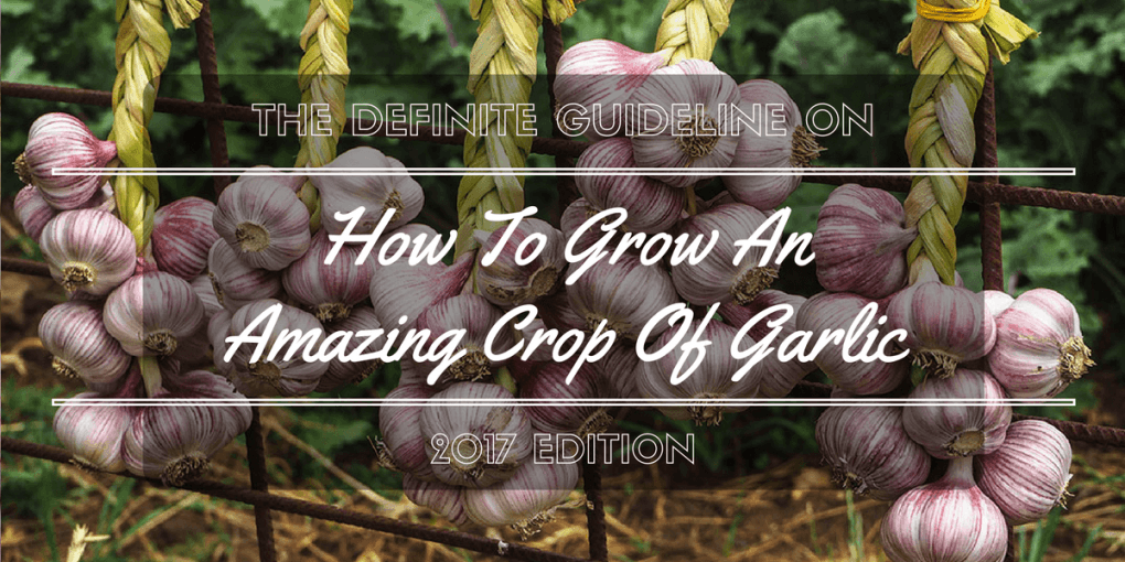 How To Grow An Amazing Crop Of Garlic