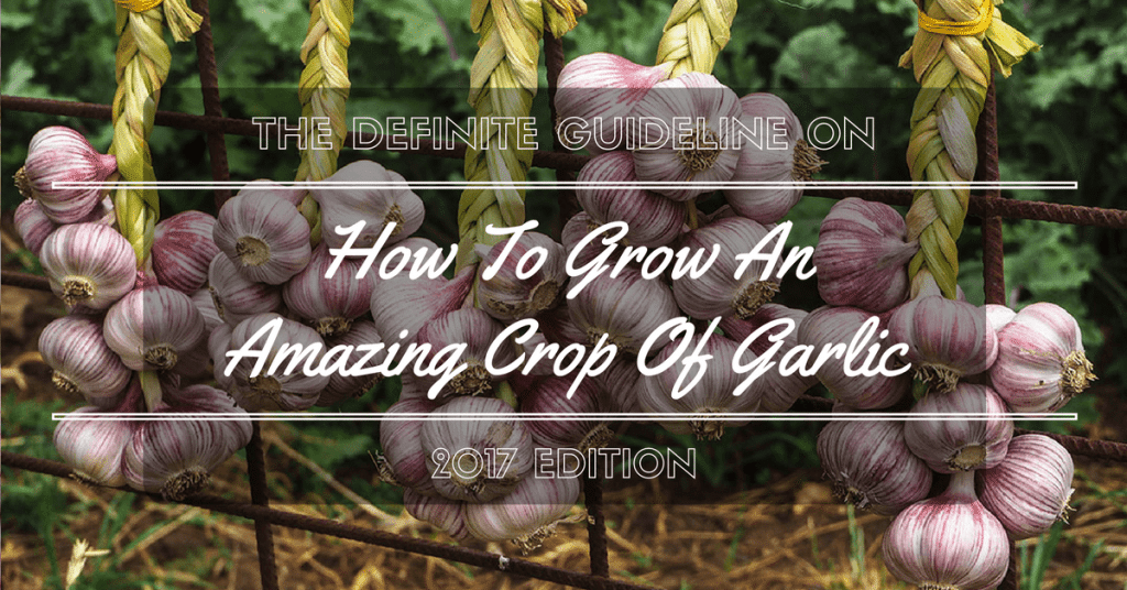How To Grow An Amazing Crop Of Garlic