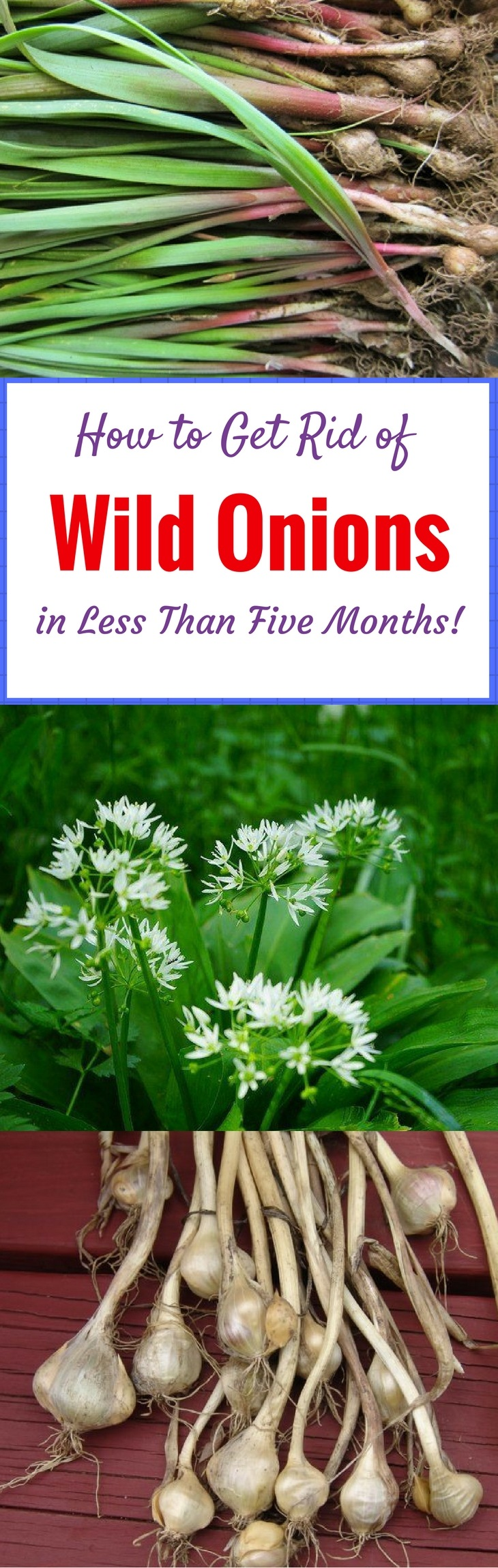 How to Get Rid of Wild Onions in Less Than Five Months!