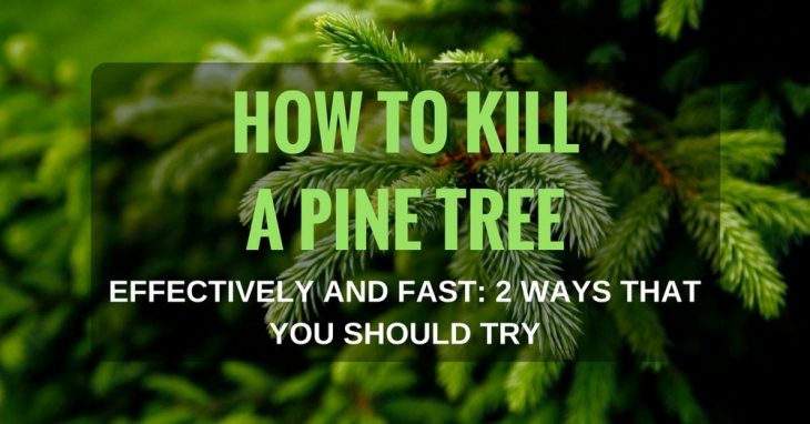 How To Kill A Pine Tree Effectively And Fast: 2 Ways That You Should Try