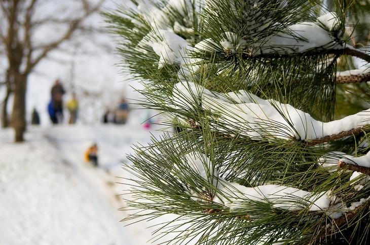 Pine trees have needle-like leaves that can survive harsh weather