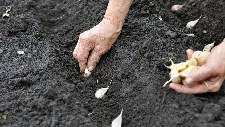 Planting garlic is not as difficult as you may think