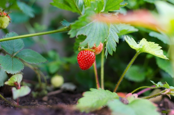 Reproduction through stem is another method of reproducing strawberries