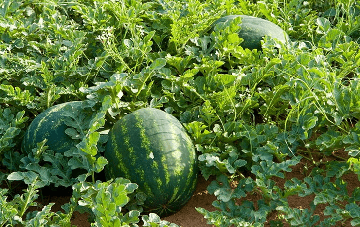 Watermelon plant bore fruits in the middle of the farm